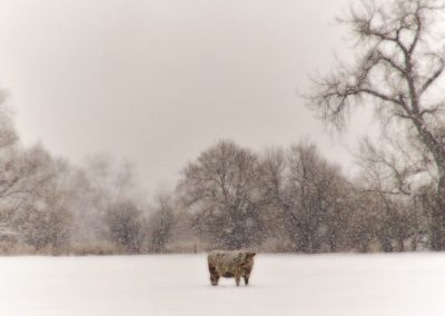 Cow in heavy snow—Boulder, Colorado, 2011