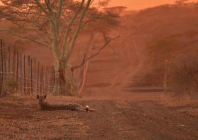 Cheetah at sunrise—South Africa, 2015