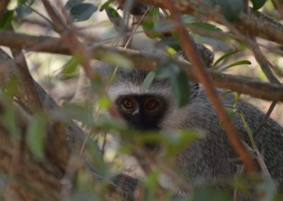 Vervet monkey—South Africa, 2015