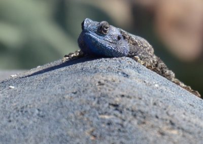 Chameleon—South Africa, 2015