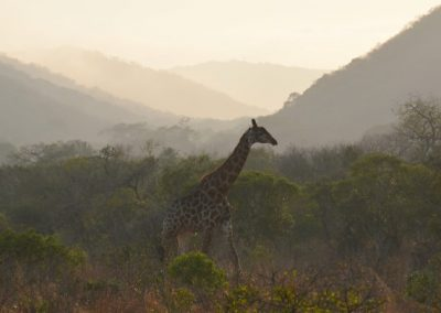 Giraffe at sunrise—South Africa, 2015
