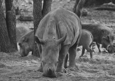 Rhino and warthogs—South Africa, 2015
