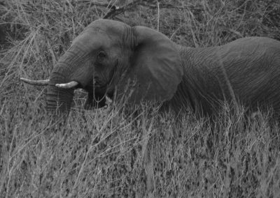 Elephant in the bushes —South Africa, 2015