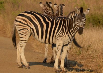 Collected zebras—South Africa, 2015