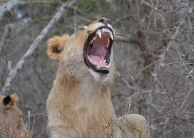 Big yawn—South Africa, 2015