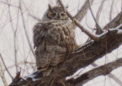 Great-horned owl in my backyard, 2018.