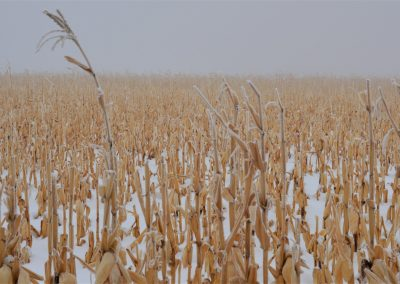Snowy corn husks, Colorado, 2019